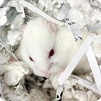 Adopt A Pet :: Cashmere - Des Moines, IA