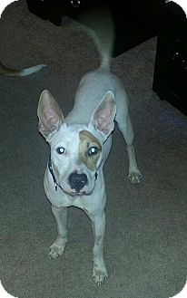 Cattle Dog Mix Dog for adoption in Gainesville, Florida - Dumbo