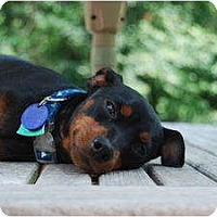 Adopt A Pet :: Scrappy aka Doc - Nashville, TN
