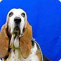 Basset Hound Dog for adoption in Acton, California - Tinkerbelle