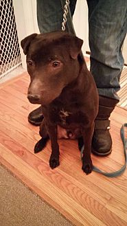 Labrador Retriever/Shar Pei Mix Dog for adoption in Lake Orion, Michigan - Flash