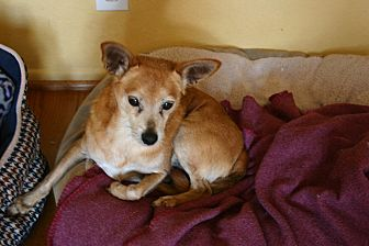 Chihuahua/Pomeranian Mix Dog for adoption in Corona, California - Guinevere and her Sir Lancelot