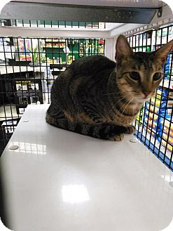 Domestic Shorthair Cat for adoption in Orlando, Florida - Stripes (MP) 4.21.15