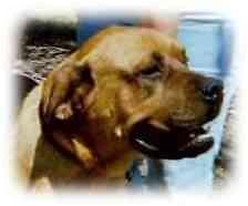 Bullmastiff Dog for adoption in North Port, Florida - Madigan