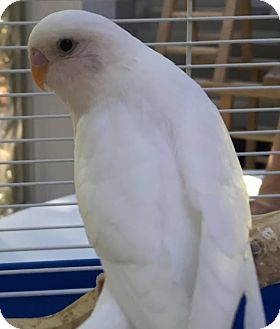 Budgie for adoption in Stratford, Connecticut - Coconut & Pip
