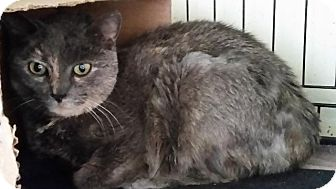 Domestic Shorthair Cat for adoption in Windsor, Connecticut - Darling Girl
