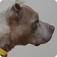 Adopt A Pet :: Korra - Philadelphia, PA