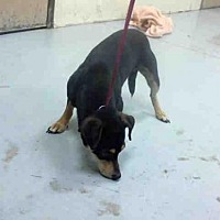 Adopt A Pet :: KING KONG - Conroe, TX