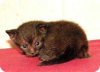 Domestic Shorthair Kitten for adoption in Florence, Kentucky - Jock