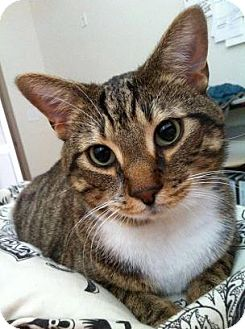 Domestic Shorthair Cat for adoption in bloomfield, New Jersey - Simon