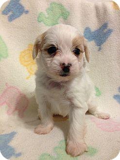 Maltese Mix Puppy for adoption in Bridgeton, Missouri - Whisky-Adoption pending