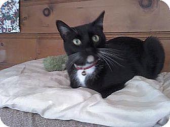 Domestic Shorthair Cat for adoption in Sherman Oaks, California - Costello