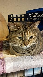 Domestic Shorthair Cat for adoption in Middletown, Connecticut - Millie