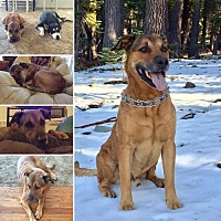 Labrador Retriever/Shepherd (Unknown Type) Mix Dog for adoption in Yreka, California - Dougie