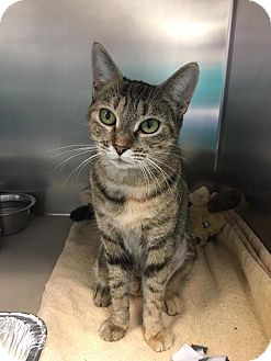 Domestic Shorthair Cat for adoption in Jackson, New Jersey - Spice