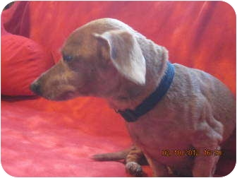 Dachshund Dog for adoption in Afton, Tennessee - Max