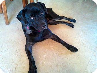 Labrador Retriever Dog for adoption in Miami, Florida - Raven