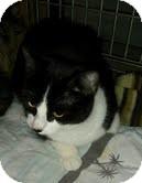 Domestic Shorthair Cat for adoption in Modesto, California - Irene
