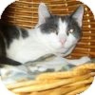 Domestic Shorthair Cat for adoption in Powell, Ohio - Ellington