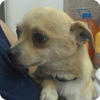 Chihuahua Mix Dog for adoption in San Diego, California - Dilly URGENT