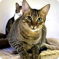 Domestic Shorthair Cat for adoption in Orland, California - Victor - July bottle baby