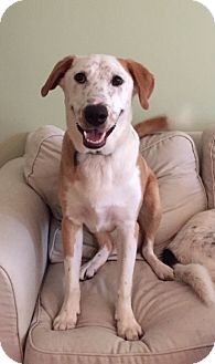 Border Collie/Labrador Retriever Mix Dog for adoption in Baltimore, Maryland - Randy