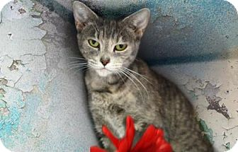 Domestic Shorthair Cat for adoption in Voorhees, New Jersey - Columbia