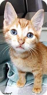 Domestic Shorthair Kitten for adoption in Key Largo, Florida - Snickers