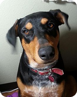 Doberman Pinscher Mix Dog for adoption in Hurricane, Utah - KODA