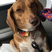 Beagle Mix Dog for adoption in Whiting, Indiana - Momma Marge