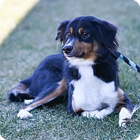 Adopt A Pet :: Kodi - Baltimore, MD