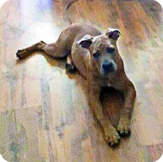 Pit Bull Terrier Mix Puppy for adoption in Tampa, Florida - Buddy*