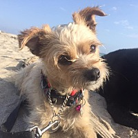 Adopt A Pet :: MR. PEBBLES - Courtesy - Los Angeles, CA