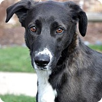 Adopt A Pet :: Louey - Northbrook, IL