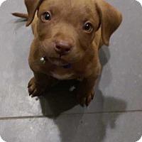 Adopt A Pet :: Larry - MCLEAN, VA