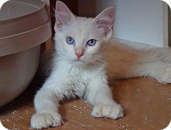 Polydactyl/Hemingway Kitten for adoption in Escondido, California - Huck Fin