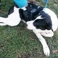 Coonhound (Unknown Type)/Dalmatian Mix Dog for adoption in Prestonsburg, Kentucky - charlotte