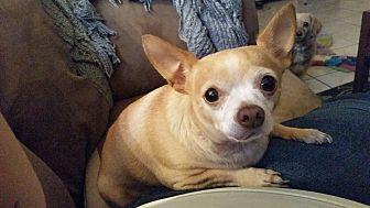 Chihuahua Mix Dog for adoption in Las Vegas, Nevada - Taquito