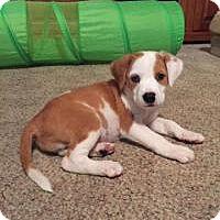Adopt A Pet :: Cinnamon - Marlton, NJ
