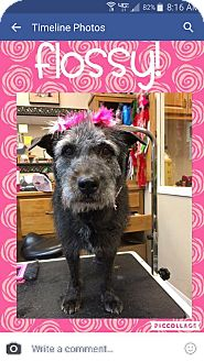 Terrier (Unknown Type, Medium) Mix Dog for adoption in Las Vegas, Nevada - Flossey