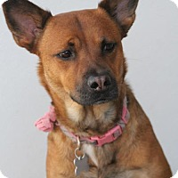 Shepherd (Unknown Type) Mix Dog for adoption in Phoenix, Arizona - Goldie