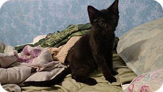 Domestic Shorthair Kitten for adoption in Stafford, Virginia - Forman