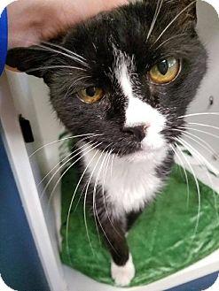 Domestic Shorthair Cat for adoption in Hendersonville, North Carolina - Mau Mau