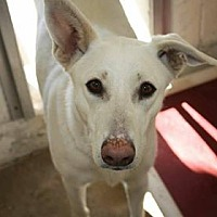 Adopt A Pet :: SNOWBALL - Littleton, CO
