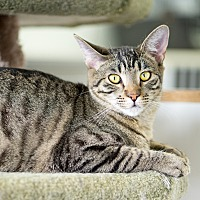 Adopt A Pet :: Audrey - Montclair, CA