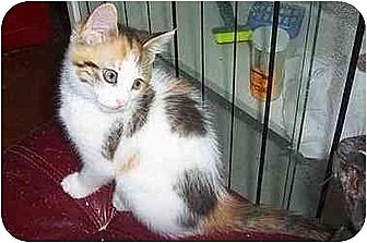 Calico Cat for adoption in Chapman Mills, Ottawa, Ontario - SASSY