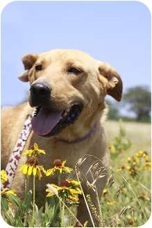 Labrador Retriever Mix Dog for adoption in Kaufman, Texas - Houston