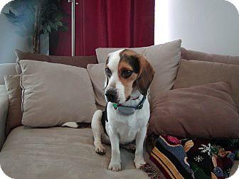 Beagle Mix Dog for adoption in Indianapolis, Indiana - Maisie