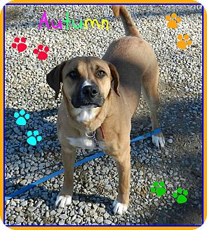Boxer/Black Mouth Cur Mix Dog for adoption in Lawrenceburg, Tennessee - Autumn
