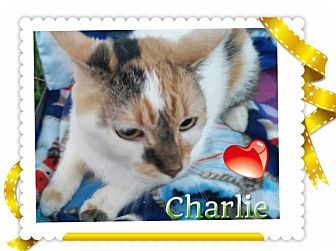 Calico Cat for adoption in Harrisburg, North Carolina - Charlie Girl